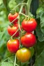 Ăn cà chua sống đúng cách và an toàn