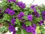 Các loại hoa màu tím kiêu sa: Hoa dạ yến thảo