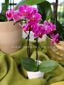 Cách trồng lan hồ điệp ra hoa đẹp và bền