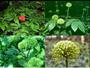 Tác dụng của hoa tam thất: phòng ngừa tai biến mạch máu não