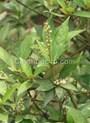 Tác dụng chữa bệnh của cây khổ sâm theo Đông y